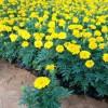 天津孔雀草多少钱|潍坊口碑好的孔雀草供应