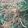 玉龙草品牌-想买品种好的玉龙草上哪