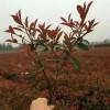 红叶石楠苗种植基地-大量供应优惠的红叶石楠苗