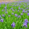 鸢尾价格-想买销量好的鸢尾,就到千艺花卉苗木