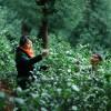 峨眉山有机茶厂家批发-成都信誉好的峨眉山遇仙茶供应商