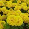 国庆菊种植基地|潍坊价格实惠的国庆菊哪家有