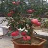 怎么挑选苹果盆景哪家好 银川物超所值的苹果盆景供应