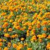 天人菊|潍坊有品质的哪里有供应|天人菊