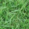 四川果园草果岭草绿肥种子三叶草供应商 四川物超所值的白三叶草高羊茅马蹄金百喜草种子