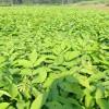 红豆杉苗-辽宁哪家供应商好-红豆杉苗