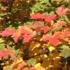 山东美国红枫-划算的美国红枫出售