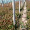 求购红叶石楠-想要好的红叶石楠就来金特花卉苗木
