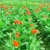 浙江水生植物-在哪能买到品种纯的水培植物