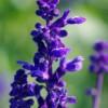 厂区绿化用花卉_彦明花卉苗木有品质的蓝花鼠尾草