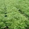 吉林刺嫩芽苗批发-大量出售辽宁刺嫩芽苗