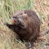 供应海狸鼠市场经济分析,超级详细-黔东南苗族侗族自治州好的温医海狸鼠提供商