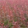 红叶小檗-供应品种好的红叶小檗