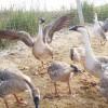 大雁养殖|东方鸿雁养殖合作社出售实用的场,大雁养殖