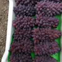 吉林茉莉香葡萄苗哪家好-哪里能买到超值的茉莉香葡萄苗