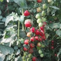 小番茄苗 千禧嫁接苗 釜山88圣女果苗 粉贝贝小西红柿苗