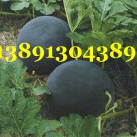 陕西大棚黑无籽西瓜产地,大荔黑无籽西瓜产地大量上市