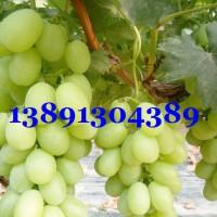陕西大棚葡萄基地,早熟葡萄,大棚青提葡萄产地价格