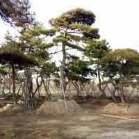 泰安景观松-泰安大型景观松